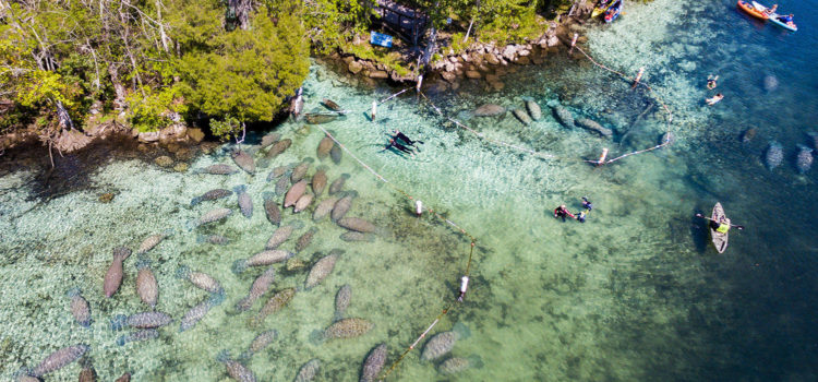 Swim with the manatees along Crystal River