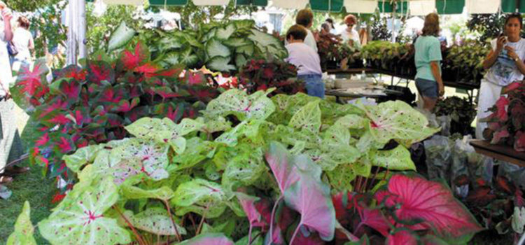 The annual Caladium Festival offers fun for everyone
